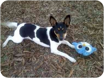 Fox Terrier (Smooth) Mix Dog for adoption in Bedminster, New Jersey - Jetta