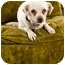 Photo 1 - Jack Russell Terrier/Pug Mix Dog for adoption in Portland, Oregon - Amos