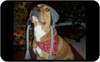 American Pit Bull Terrier/Shar Pei Mix Dog for adoption in Montreal, Quebec - Mika