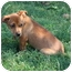 Photo 3 - Dachshund/Chihuahua Mix Puppy for adoption in Prince William County, Virginia - stevie
