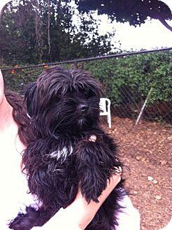Maltese Mix Dog for adoption in Santa Barbara, California - Cooper