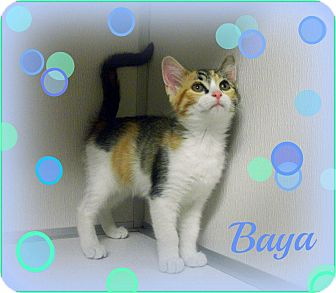 Calico Kitten for adoption in Cannelton, Indiana - Baya