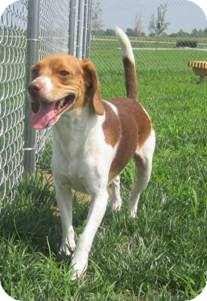 Beagle Dog for adoption in Indianapolis, Indiana - Pickle