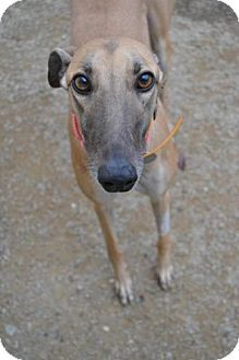 Greyhound Dog for adoption in Chagrin Falls, Ohio - Roc A By Roxanne