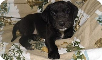 Labrador Retriever Mix Puppy for adoption in Bel Air, Maryland - Shadow