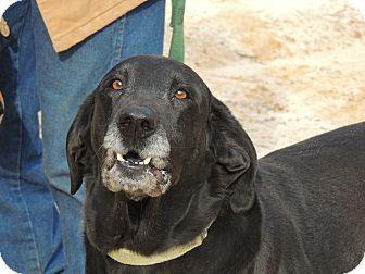 Labrador Retriever/Hound (Unknown Type) Mix Dog for adoption in Harrisonburg, Virginia - Elvis Reduced
