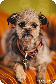 Cairn Terrier/Affenpinscher Mix Dog for adoption in Portland, Oregon - Kelly