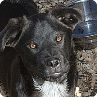 Adopt A Pet :: Henley - PENDING, in Maine - kennebunkport, ME