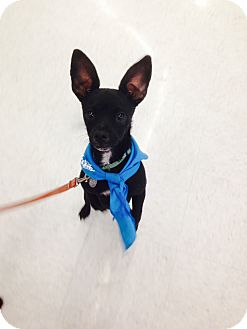 Chihuahua/Terrier (Unknown Type, Small) Mix Puppy for adoption in Ogden, Utah - Rookie