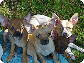 Chihuahua Puppy for adoption in Freedom, Pennsylvania - Ruddy and Romeo