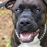 Boxer/Pit Bull Terrier Mix Dog for adoption in Charlotte, North Carolina - Coup