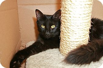 Domestic Mediumhair Kitten for adoption in Coronado, California - Ruby