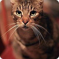Adopt A Pet :: Tiger - Redondo Beach, CA