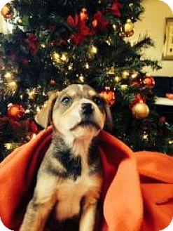 Hound (Unknown Type)/Shepherd (Unknown Type) Mix Puppy for adoption in Marlton, New Jersey - Baby Bruce