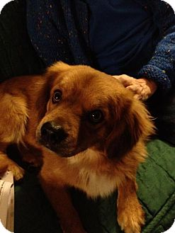 Retriever (Unknown Type)/Spaniel (Unknown Type) Mix Dog for adoption in Portland, Oregon - Squiggly