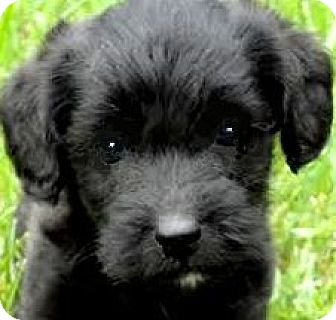 Labradoodle Mix Puppy for adoption in Wakefield, Rhode Island - BARRON(LABRADOODLE PUPPY!! WOW