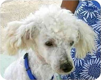 Poodle (Miniature) Puppy for adoption in Downey, California - Casey