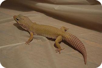 Gecko for adoption in Holbrook, Massachusetts - Strax