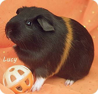Guinea Pig for adoption in Santa Barbara, California - Lucy