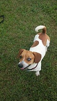 Beagle/Dachshund Mix Dog for adoption in Seymour, Connecticut - Ray Ray (Owner Surrender)