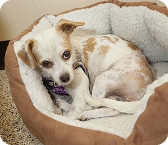 Terrier (Unknown Type, Small)/Chihuahua Mix Dog for adoption in Thousand Oaks, California - Shayla