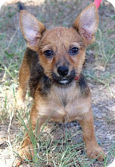 Terrier (Unknown Type, Small)/Chihuahua Mix Puppy for adoption in Plymouth Meeting, Pennsylvania - ELLIOT