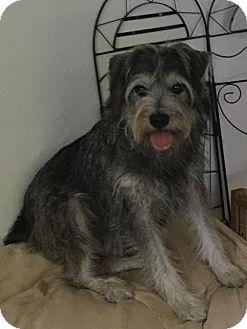 Schnauzer (Miniature) Mix Dog for adoption in Saddle Brook, New Jersey - Shamus