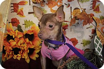 Chihuahua Mix Puppy for adoption in San Antonio, Texas - Faerie