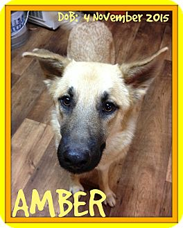 German Shepherd Dog Dog for adoption in Middletown, Connecticut - AMBER
