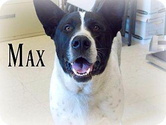 Akita/Dalmatian Mix Dog for adoption in Defiance, Ohio - Max