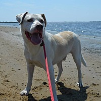Labrador Retriever Mix Dog for adoption in Ozone Park, New York - Elwood