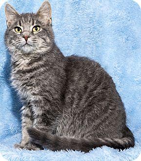 Domestic Mediumhair Kitten for adoption in Mt. Prospect, Illinois - Rylee