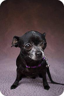 Chihuahua Mix Dog for adoption in San Antonio, Texas - Gwen