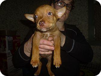 Collie/Labrador Retriever Mix Puppy for adoption in Glastonbury, Connecticut - Gareth