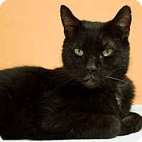 Domestic Shorthair Cat for adoption in Rockport, Texas - Rocky