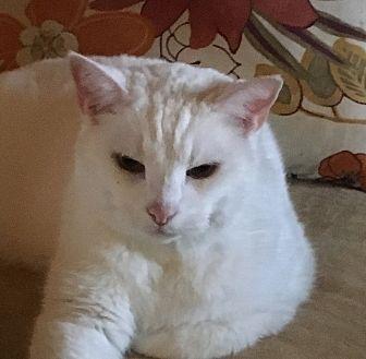 British Shorthair Cat for adoption in Germantown, Maryland - Cotton
