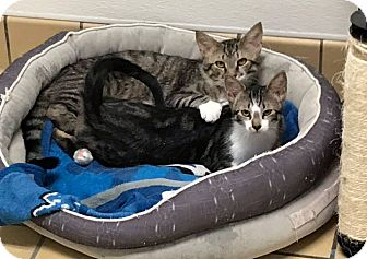 Bengal Kitten for adoption in Lumberton, North Carolina - Bunny & Bubba