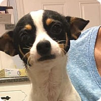 Jack Russell Terrier/Chihuahua Mix Dog for adoption in Arlington, Virginia - Andy - ADOPTED!!