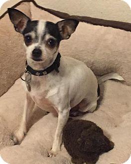 Chihuahua Dog for adoption in Orlando, Florida - Roxie