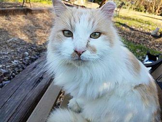 Turkish Van Cat for adoption in Parlier, California - Jesse James