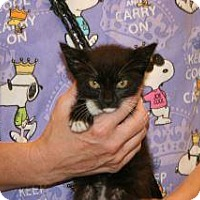 Domestic Shorthair Kitten for adoption in Wildomar, California - Salli-ann