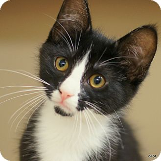 Domestic Shorthair Kitten for adoption in East Hartford, Connecticut - Ringo