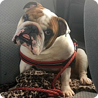 Adopt A Pet :: Barkly - Odessa, FL