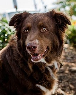 Australian Shepherd Mix Dog for adoption in Pt. Richmond, California - CODY