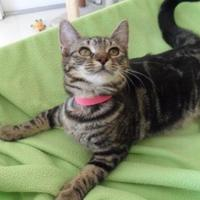 Domestic Shorthair/Domestic Shorthair Mix Cat for adoption in Thomasville, Georgia - YO YO