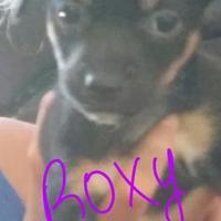 Adopt A Pet :: Roxy - Davie, FL
