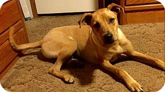 Labrador Retriever/Australian Shepherd Mix Dog for adoption in WAGONER, Oklahoma - Dan