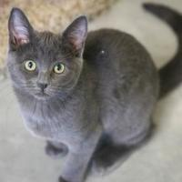Domestic Shorthair/Domestic Shorthair Mix Cat for adoption in Boise, Idaho - Marissa
