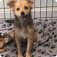 Pomeranian/Maltese Mix Dog for adoption in Temecula, California - Holly