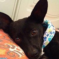 Adopt A Pet :: Veruca - Alexandria, VA